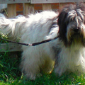 From Perciva's Lodge & Von Hugo Boss Schapendoes & Briard Fokker