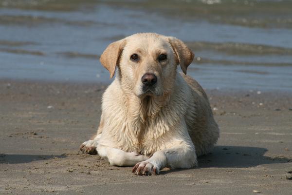 Labrador, alles over labradors, fokkers, rassen - Startkabel.nl