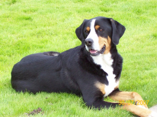 honden foto: grote zwitserse sennenhond
