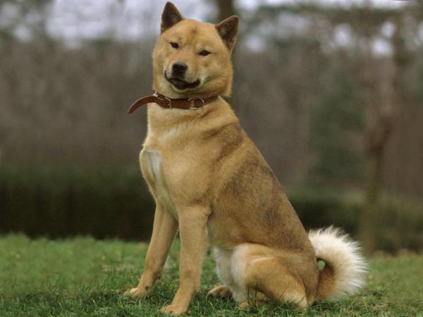 Honden Foto Hokkaido Ken