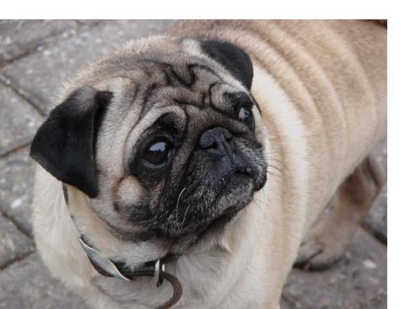 honden foto  mopshond