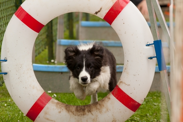 Border Collies van't Rublisiehof