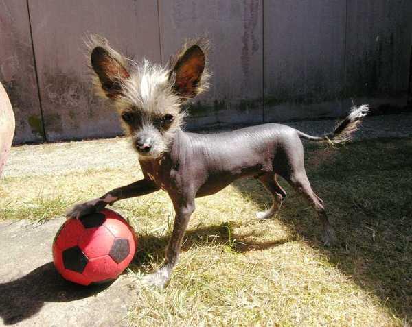 Honden Foto Chinese Naakthond