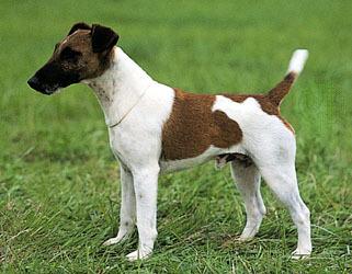 Honden foto: Foxterrie...