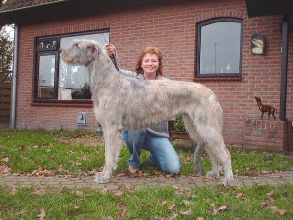 Honden Foto Ierse Wolfshond