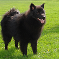 Keeshond, Grote