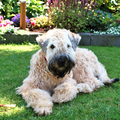 Irish Softcoated Wheaten Terriër
