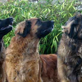 Leonberger kennel of Usquebaugh