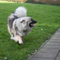 Grote Keeshond, wolfsgrijs
