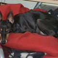 Engelse Toy Terrier