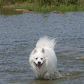 Grote Keeshond, wit