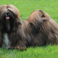 Destination of Love, Lhasa apso kennel