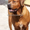 Diamant severu tosa inu kennel
