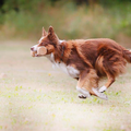 Fearless Flying Border Collies
