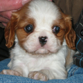 Donna, mijn Cavalier King Charles pup