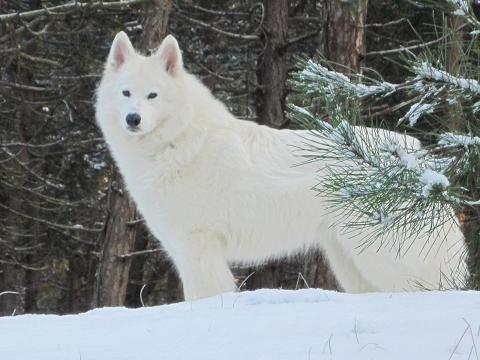 Vreemd Verhaal Over Canadeze Herder Kruizing Wolf