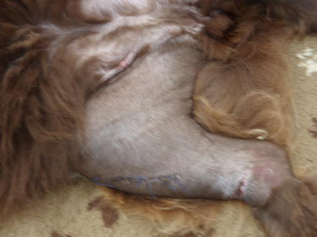 Medisch hondenforum for Vocht vasthouden buik