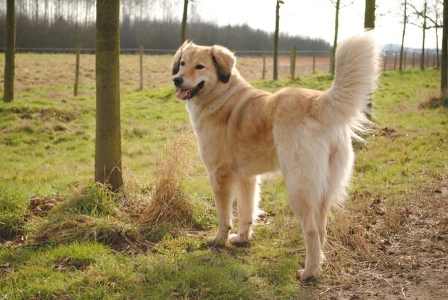 wat voor een kruising hebben jullie? - pagina 2 | HondenForum Golden Retriever Australian Shepherd Mix