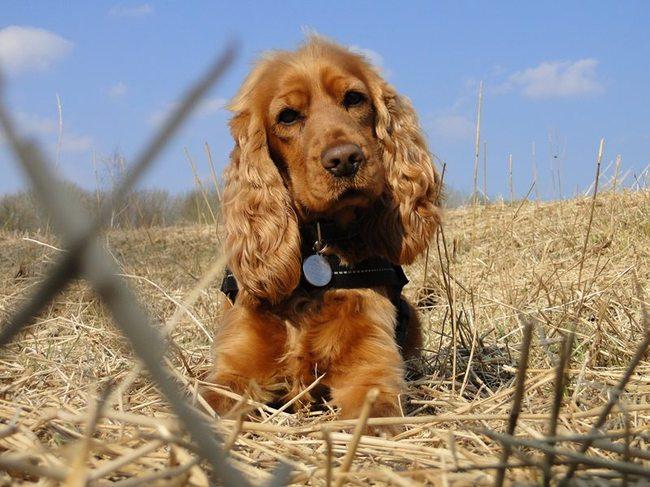 Vind cocker spaniel pups in Honden  Retrievers Spaniëls