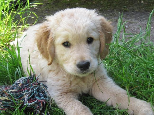 is mijn golden retriever pup klein voor zijn leeftijd update hondenforum. Black Bedroom Furniture Sets. Home Design Ideas