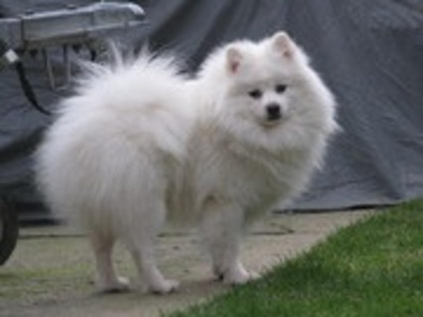 japanse hondenrassen lijst