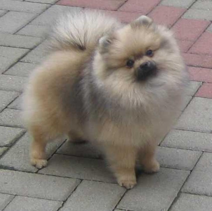 Verwonderend Dwergkees pup, welke kleur wordt dit?! | HondenForum YB-35