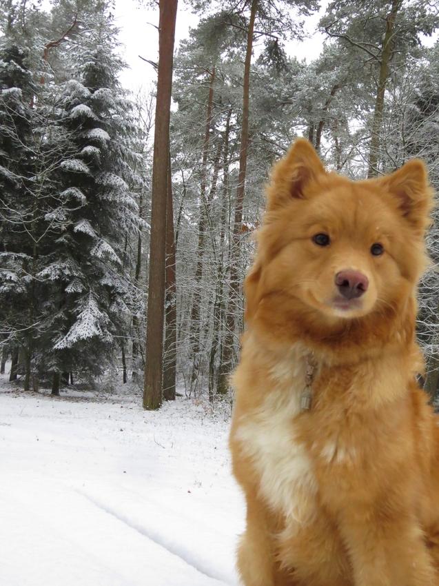 sheltie vs finse lappenhond | hondenforum
