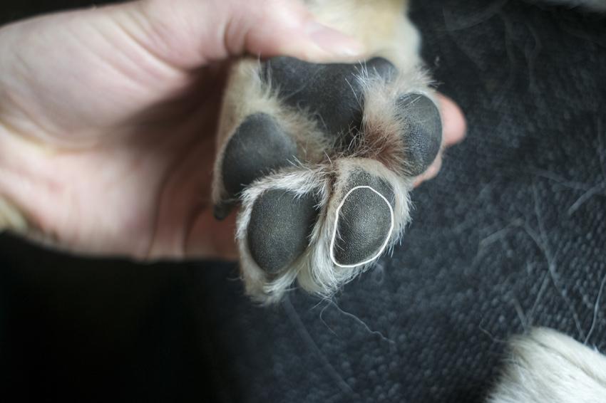 wond hondenpoot