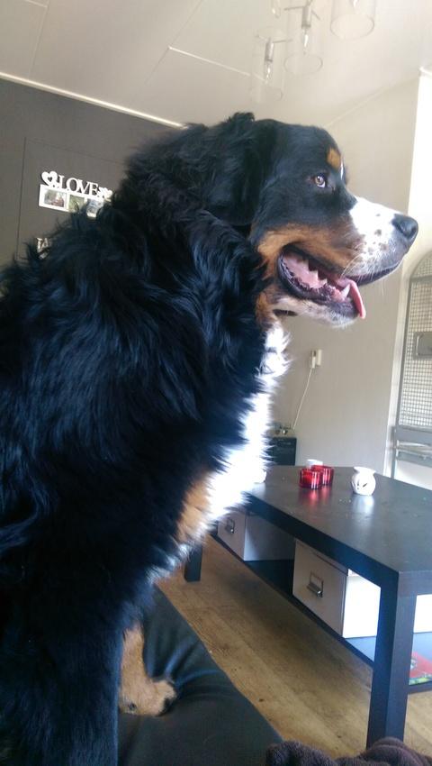 gewicht berner sennen pagina 2 hondenforum. Black Bedroom Furniture Sets. Home Design Ideas