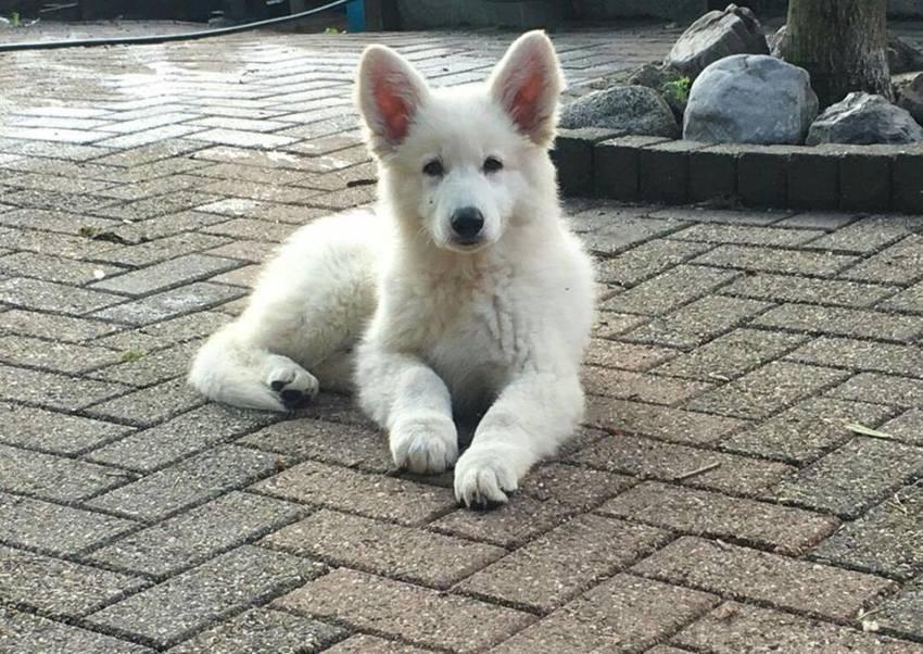 Puppies aangeboden  Categorieën  Hondenplaza