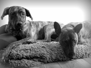 Waarom denken mensen dat staffords bull terriers for Waarom kussen mensen