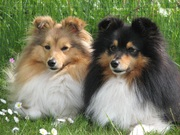 honden foto van Watch Out *Shelties* Around