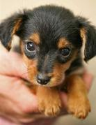 Sausage Dog Puppies For Sale Nsw